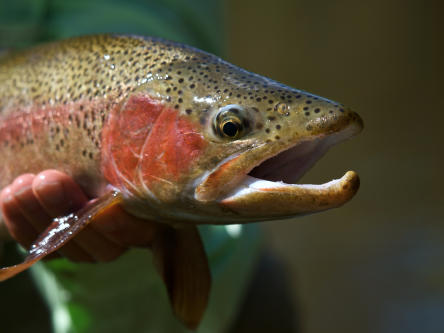 New Zealand wild Trout