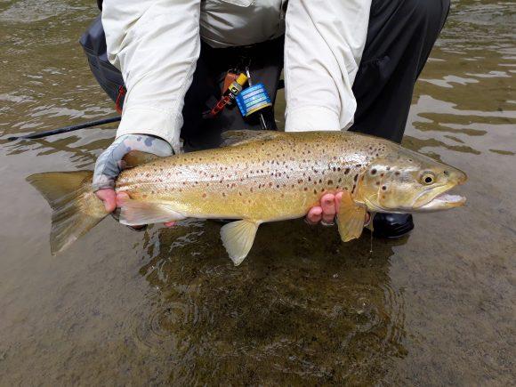 Ruakituri River brown trout, 2019 season